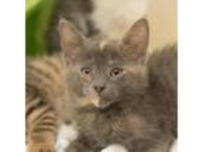 Adopt Inkie a Gray or Blue Domestic Shorthair / Domestic Shorthair / Mixed cat