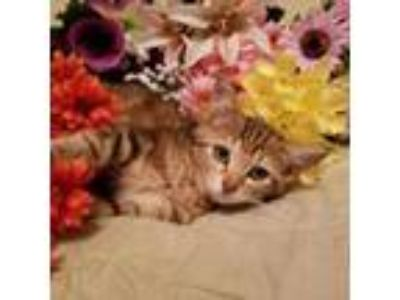 Adopt Sassy Brat Cat a Domestic Short Hair