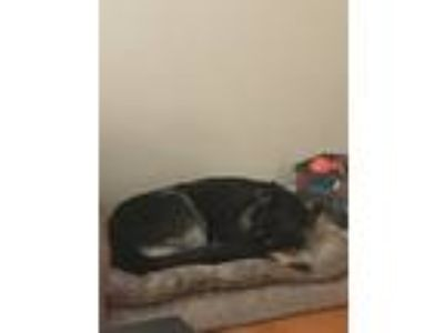 Adopt Athena a Black - with Tan, Yellow or Fawn German Shepherd Dog / Mixed dog