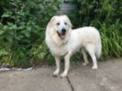 Adopt Astor a Great Pyrenees