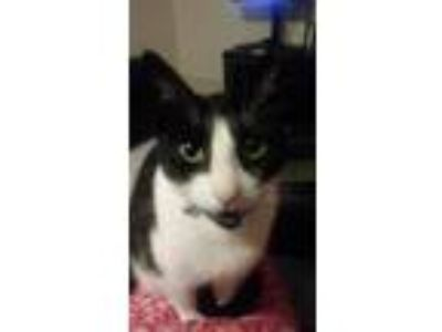 Adopt Misha a Black & White or Tuxedo Domestic Mediumhair / Mixed cat in
