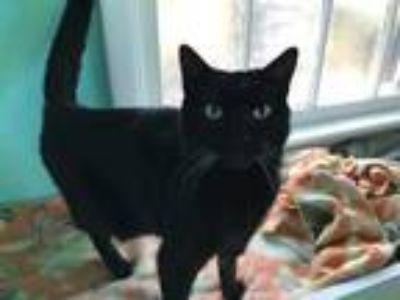 Adopt Gigi a All Black Domestic Shorthair / Domestic Shorthair / Mixed cat in
