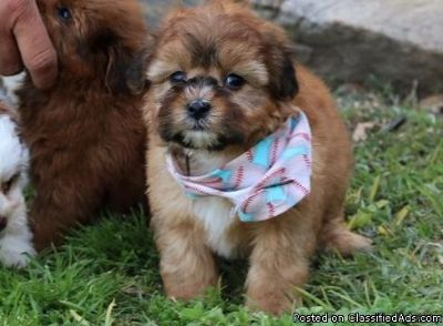 Beautiful Poodle Puppy