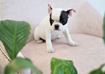 Bentley the Mini French Bulldog ($5,000)