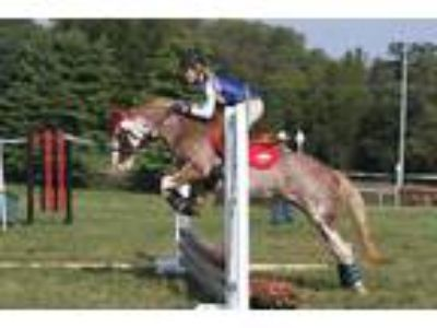 Red Roan Jumper Pony