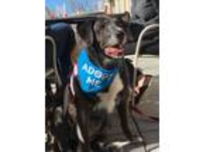 Adopt Bella a Brindle Labrador Retriever / Australian Shepherd dog in