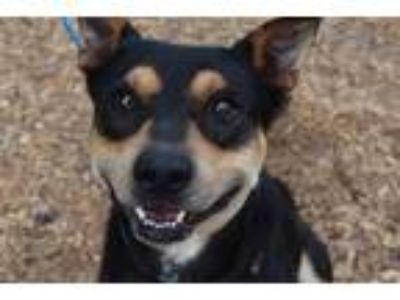 Adopt BUCKEYE a Black - with Tan, Yellow or Fawn Doberman Pinscher / Mixed dog