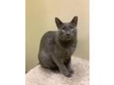Adopt Bobby a Gray or Blue Domestic Shorthair (short coat) cat in San Francisco