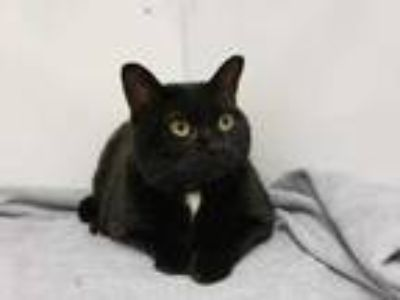 Adopt Molly a All Black Domestic Shorthair / Mixed cat in Boulder, CO (25882611)
