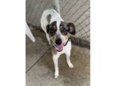Adopt Daisy H-8 (Hold) a Australian Cattle Dog / Blue Heeler, Whippet
