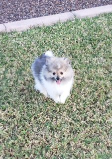 FULL AKC REGISTRATION POMERANIAN