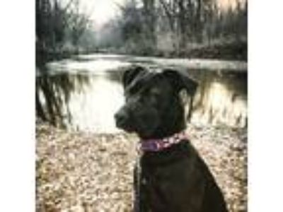 Adopt Charli a Brown/Chocolate - with Black American Pit Bull Terrier / Labrador