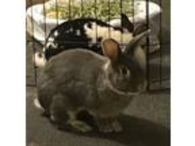 Adopt Lee a Bunny Rabbit