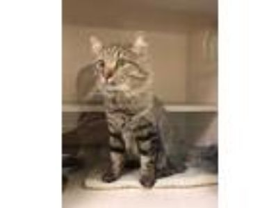 Adopt LORAX a Brown Tabby Domestic Mediumhair / Mixed (medium coat) cat in
