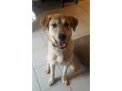 Adopt Luna a Tan/Yellow/Fawn - with Black Husky / Gordon Setter / Mixed dog in