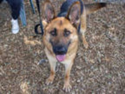 Adopt *CANDY a Black - with Tan, Yellow or Fawn German Shepherd Dog / Mixed dog