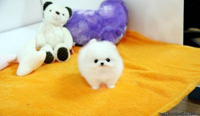 Top Quality =Pomeranian Puppies.