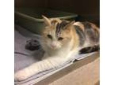 Adopt Betsy a White Domestic Shorthair / Domestic Shorthair / Mixed cat in