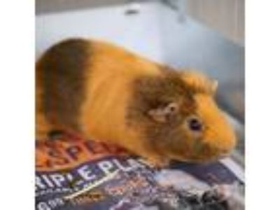Adopt PEPPA a Black Guinea Pig / Mixed small animal in Las Vegas, NV (25856279)
