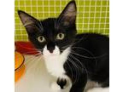 Adopt Lucy Gray a Black & White or Tuxedo Domestic Shorthair / Mixed cat in