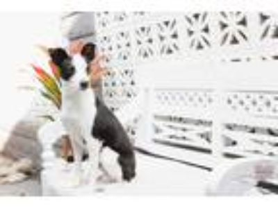 Adopt Patton a White - with Black Rat Terrier / Jack Russell Terrier / Mixed dog