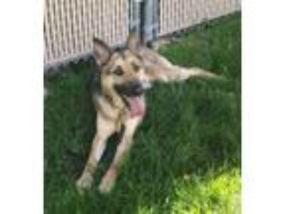 Adopt Stryker a German Shepherd Dog
