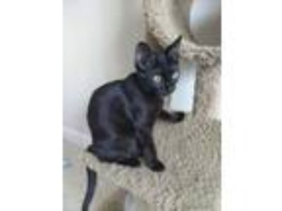 Adopt Jack Frost a Domestic Short Hair