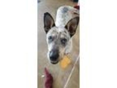 Adopt Cooper a Australian Cattle Dog / Blue Heeler