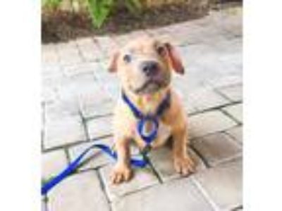 Adopt Tank a Tan/Yellow/Fawn American Staffordshire Terrier / Mixed dog in