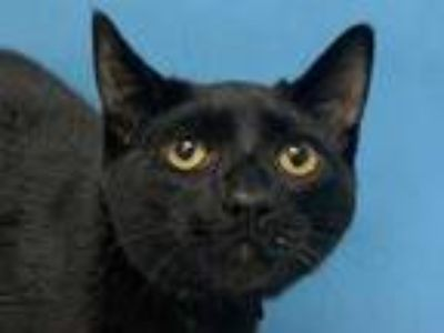 Adopt Draco a All Black Domestic Shorthair / Mixed (short coat) cat in Woodbury