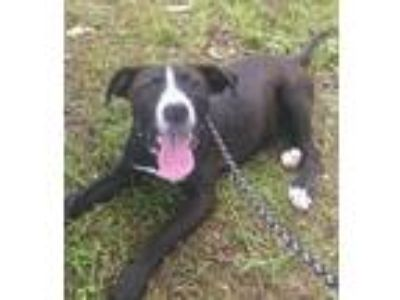 Adopt Phoebe a Black - with White American Pit Bull Terrier / Mixed dog in