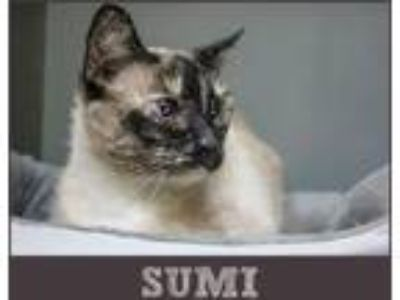 Adopt Sumi a Domestic Short Hair, Siamese