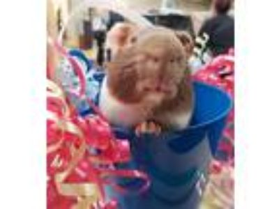 Adopt Lucky a Guinea Pig small animal in Oceanside, CA (24941908)