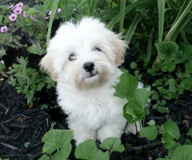 Maltipoo PUPPY FOR SALE ADN-91848 - Maltipoo Puppies Michigan