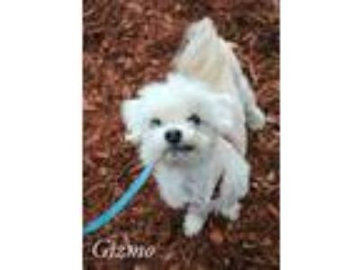 Adopt Gizmo a Poodle