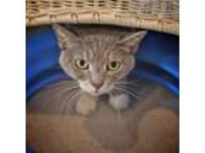 Adopt Hope a Gray or Blue Domestic Shorthair cat in Oyster Bay, NY (18717053)