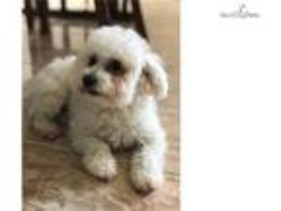Prince Toy Poodle