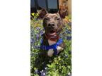 Adopt Hercules a Brindle American Pit Bull Terrier / Mixed dog in Dallas