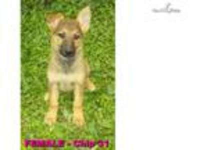 AKC/UKC German Shepherd Red Sable Female Puppy