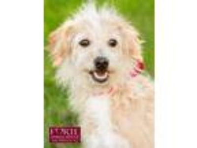 Adopt Penelope a Tan/Yellow/Fawn - with White Border Terrier / Poodle