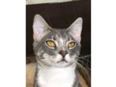 Adopt SAMI a Domestic Short Hair, Tabby