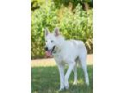 Adopt Mesha a White German Shepherd Dog / Mixed dog in Gainesville