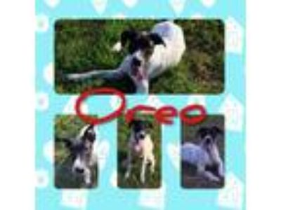 Adopt Oreo a White - with Black Great Dane / Cattle Dog / Mixed dog in Atlanta