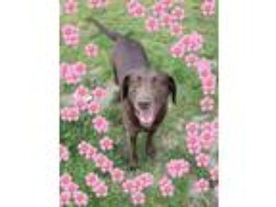 Adopt Nestle a Brown/Chocolate Labrador Retriever / Chesapeake Bay Retriever /