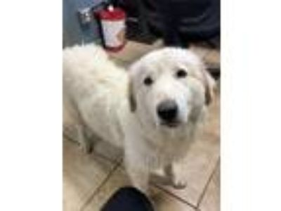 Adopt Miss Priss a Great Pyrenees