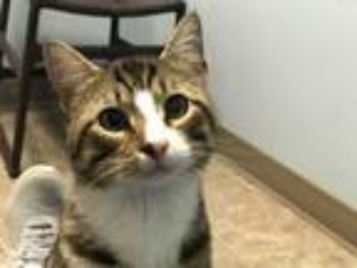 Adopt Monroe a Domestic Short Hair