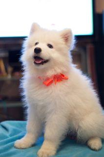 Samoyed PUPPY FOR SALE ADN-102066 - Purebred Samoyed Puppies
