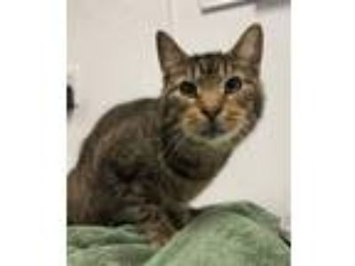Adopt Micky a Domestic Shorthair / Mixed cat in Madison, NJ (23763596)