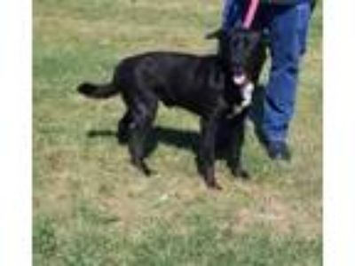 Adopt DARWIN a Black Retriever (Unknown Type) / Mixed dog in Clinton