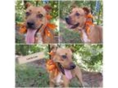 Adopt Leecie Lou a Red/Golden/Orange/Chestnut - with White Labrador Retriever /